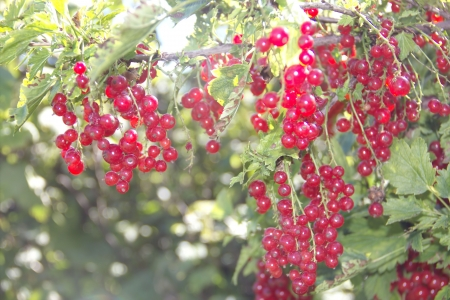 Bush of red currants in the garden Stock Photo - 14926170