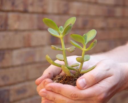 Hands holding Money tree - Crassula photo