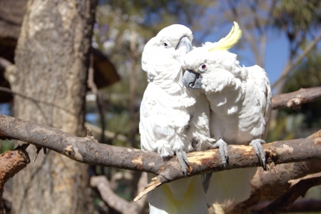 Couple of white cockatoo parrots  in love