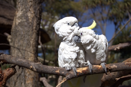 Couple of white parrots in love