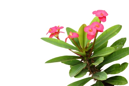 believed: Cronw of thorns plant is believed to be auspicious, if planted in the house. Stock Photo