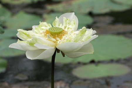 The lotus is a Buddhist worship. photo