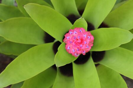 cryptanthus: Bromeliad plants to decorate various places. They are beautiful.