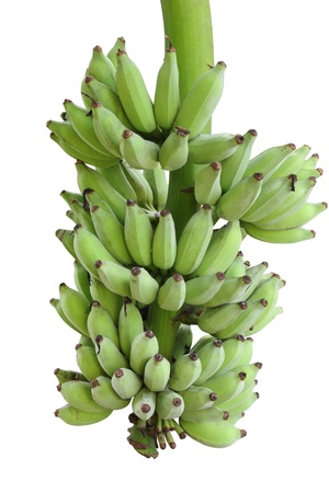 Cultivated banana is tropical plant photo