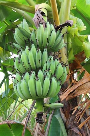 clima tropical: Banano cultivado es una planta tropical