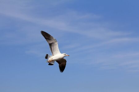 Seagull flying and look for food on blue sky over the coast of bangpoo thailand photo