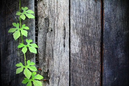 ivy wall: Green Vine cling on old wooden walls
