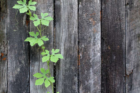 cling: Green Vine cling on old wooden walls