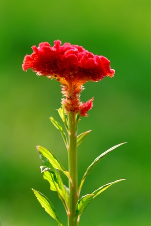 Cockscomb flowers are also known as Wool Flowers or Brain Celosia, suggestive of a highly colored brain  The Cockscomb flower blooms from late summer through late fall