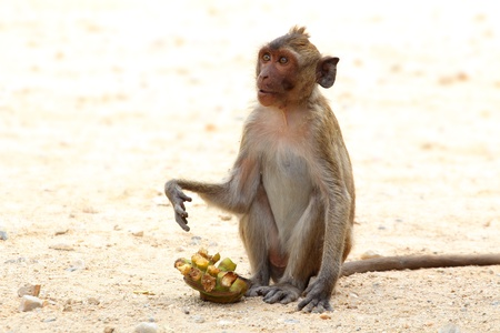 bonobo: The crab-eating macaque is a cercopithecine primate native to Southeast Asia. It is also called the