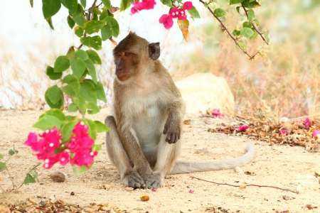 southeast asia: The crab-eating macaque is a cercopithecine primate native to Southeast Asia. It is also called the