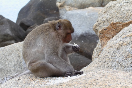 The crab-eating macaque is a cercopithecine primate native to Southeast Asia.  photo