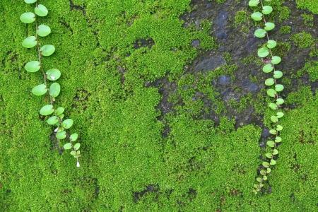 mosses: Mosses are small, soft plants that are typically tall, though some species are much larger. They commonly grow close together in clumps or mats in damp or shady locations.