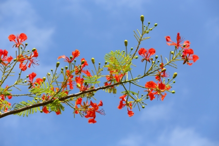 feathery: In many tropical parts of the world it is grown as an ornamental tree. It is also one of several trees known as Flame tree.