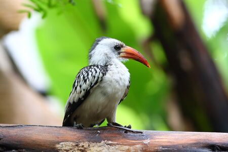 coraciiformes: The Red-billed Hornbills are a group of hornbills found in savanna and woodland of sub-Saharan Africa. They are generally large, at 42 cm long, but the entire group are smaller hornbills.