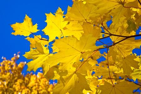 Yellow maple leaves in Kolomenskoye park, Moscow photo
