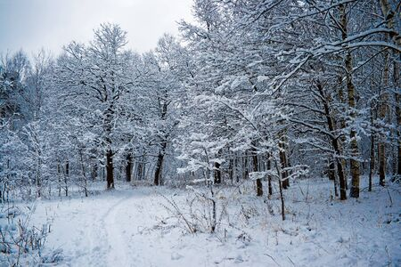 winter forest under white snow, Moscow, Russia Stock Photo - 4502160