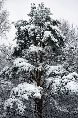 Winter fir tree under white snow, Russia Stock Photo - 4502156