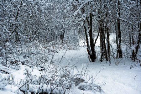 winter forest under white snow, Moscow, Russia Stock Photo - 4640615