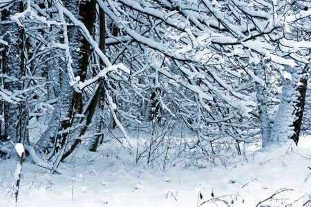 Forest under white snow, Moscow, Russia Stock Photo - 4640741