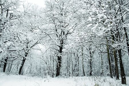 winter forest under white snow, Moscow, Russia Stock Photo - 4640744
