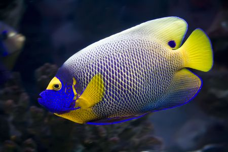 Beautiful exotic tropical fish angelfish