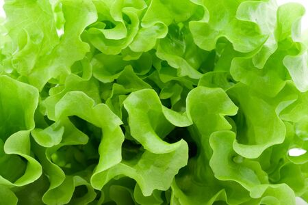 Fresh green Lettuce salad Stock fotó