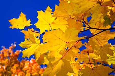 Orange maple leaves and blue sky photo
