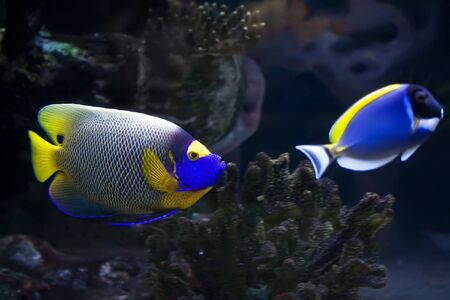 royal angelfish: Beautiful exotic tropical fishes under water