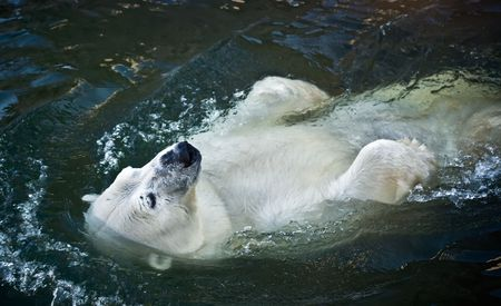 wet bear: Polar bear in the zoo