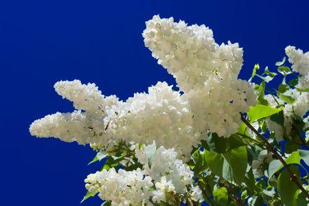 blu sky: Flowers of white bird cherry tree and blu sky Stock Photo