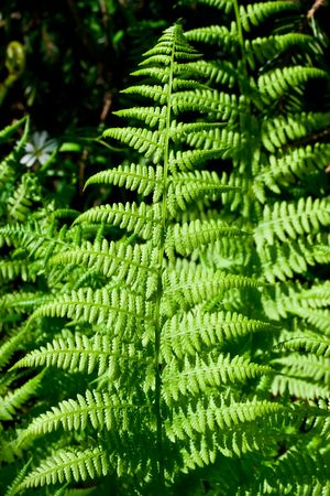 furl: Fresh fern leaves in the forest