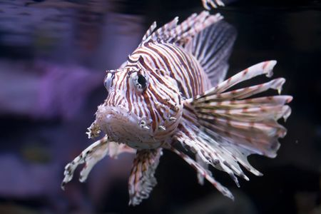 zebrafish: Beautiful and dangerous Lionfish (Pterois miles) Stock Photo