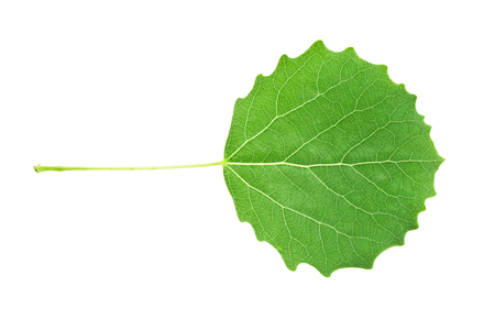 aspen leaf: Beautiful macro photo of aspen leaf, isolated on white background Stock Photo
