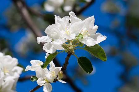 apple blossom: Beautiful spring blossom of apple cherry tree with white flowers Stock Photo