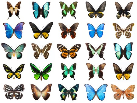 morpho: Collection of beautiful tropical butterflies isolated on white background