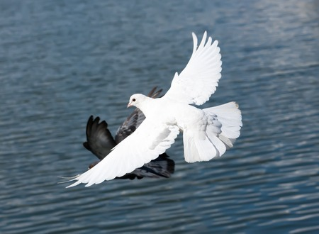 Nice close-up photo of white flying pigeon photo