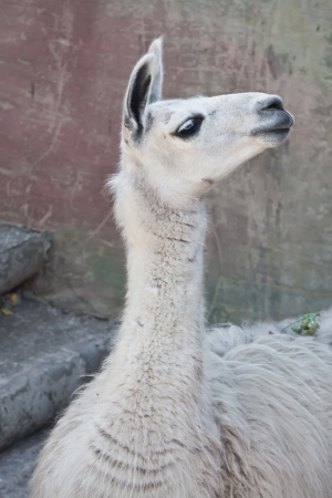 Portrait dr�le de close-up de lama dans le zoo photo