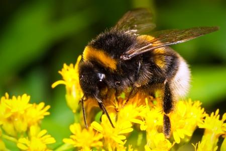Macro photo of nice Bumblebee working on Flower