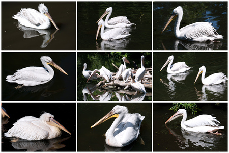 Beautiufl close-up photos of cute white pelican photo