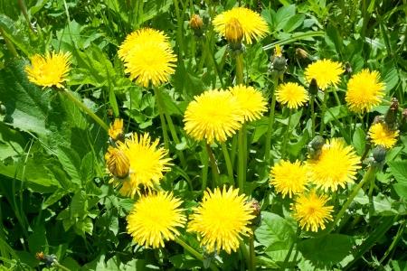 Beautiful bright yellow dandelion flower, spring photo
