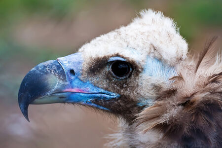 Portrait of Cinereous Vulture Aegypius Monachus outdoors photo