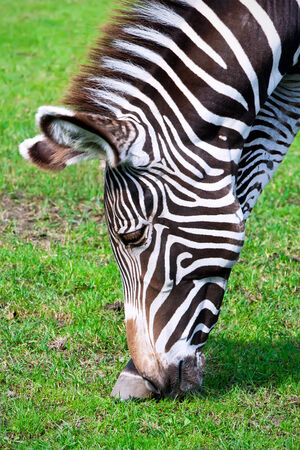 Nice close-up photo of young male zebra in zoo