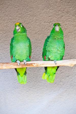 loros verdes: Loros verdes lindas que se sientan en el palillo de madera