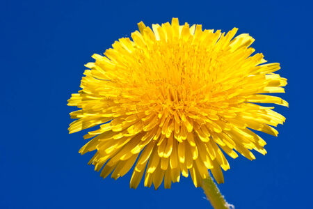 yellow stem: Beautiful bright yellow dandelion flower, spring photo
