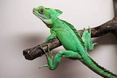 lagarto: Hermosa foto de cerca de lagarto basilisco Emplumada Foto de archivo