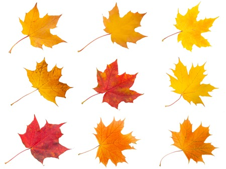 Collection of beautiful maple leaves isolated on white background