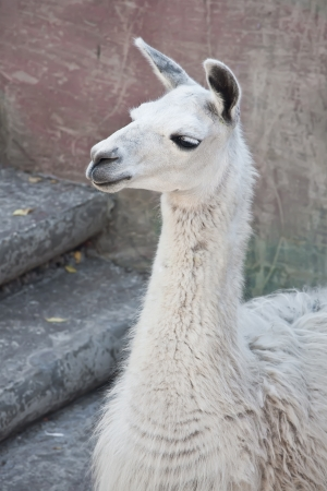 Funny close-up portrait of llama in zoo photo