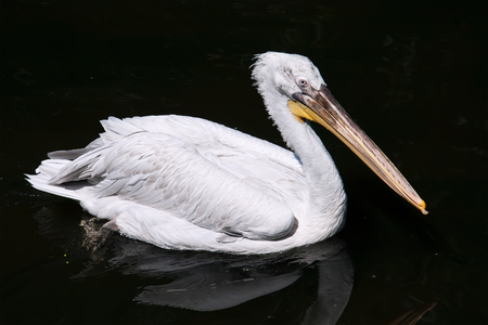 Beautiufl close-up photo of cute white pelican photo