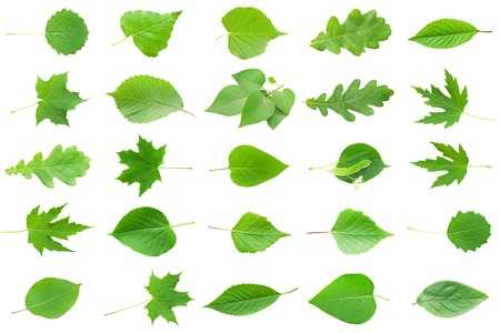 leaves green: Collection of Green Leaves isolated on white background Stock Photo